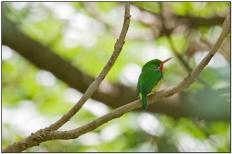 Puerto Rican Tody (Todus mexicanus) by Daves BirdingPix