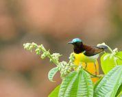 Purple-rumped Sunbird (Leptocoma zeylonica) by TAJA