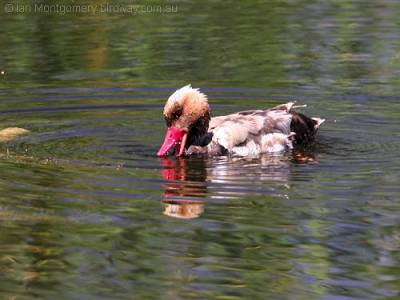 Red-crested Pochard - Anatidae Family by Ian
