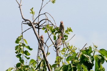 Red-faced Mousebird (Urocolius indicus) by Bob-Nan