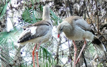 Red-legged Seriema (Cariama cristata) by Lee at Lowry Park Zoo