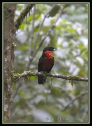 Red-ruffed Fruitcrow (Pyroderus scutatus) by Robert Scanlon