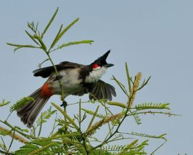 Red-whiskered Bulbul (Pycnonotus jocosus) by TAJA