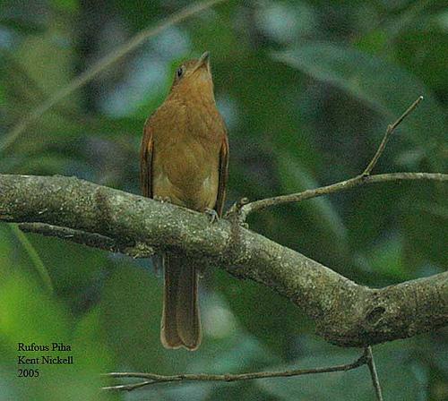 Rufous Piha (Lipaugus unirufus) by Kent Nickell
