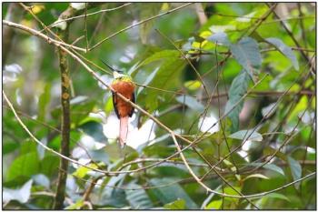 Rufous-tailed Jacamar (Galbula ruficauda) by BirdingPix