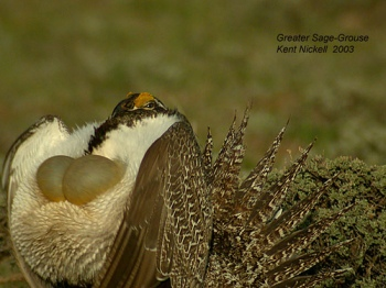 Sage Grouse (Centrocercus urophasianus) by Kent Nickell