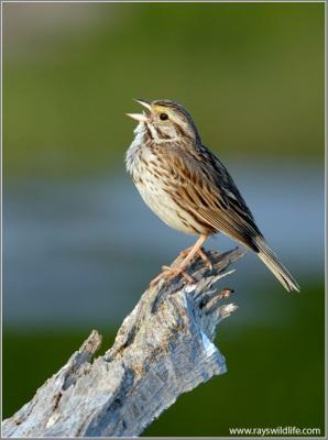 Savannah Sparrow singing by Ray