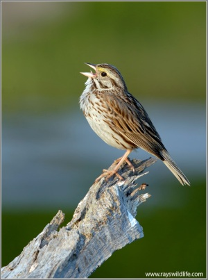 Savannah Sparrow singing by Ray