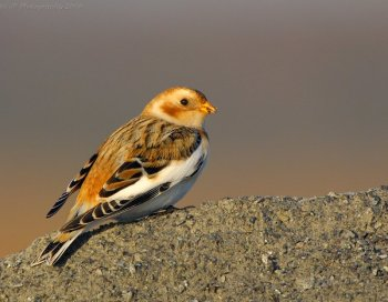 Snow Bunting (Plectrophenax nivalis) by J Fenton