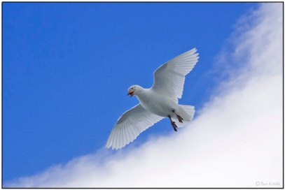 Snowy Sheathbill (Chionis albus) by Daves BirdingPix