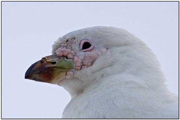 Snowy Sheathbill (Chionis albus) closeup by Daves BirdingPix