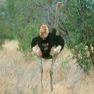 Somali Ostrich - Struthio molybdophanes