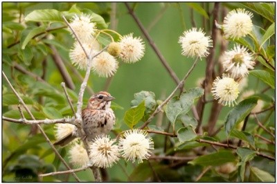 Song Sparrow in white flowers by Daves BirdingPix