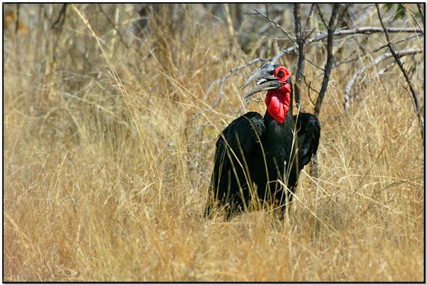 Southern Ground Hornbill (Bucorvus leadbeateri) by Daves BirdingPix