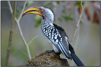 Southern Yellow-billed Hornbill by Dave's BirdingPix