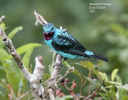 Spangled Cotinga (Cotinga cayana) by Kent Nickell