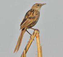 Striated Grassbird (Megalurus palustris) by Nikhil Devasar