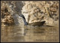 Sungrebe (Heliornis fulica) by Robert Scanlan