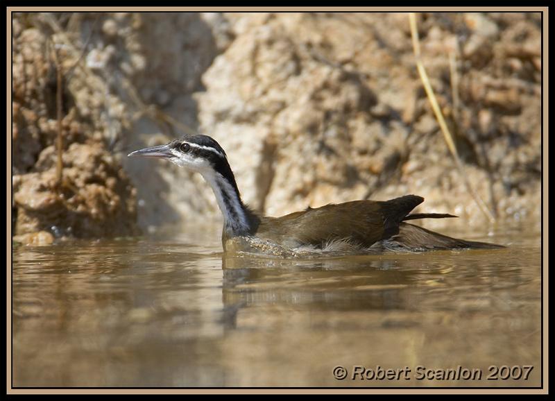 Sungrebe (Heliornis fulica) by Robert Scanlan