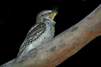 Tawny Frogmouth (Podargus strigoides) by Africaddict