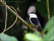 White-bearded Manakin (Manacus manacus) by Ian Montgomery