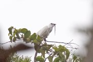 White Bellbird (Procnias albus) by AGrosset