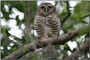 White-browed Owl ( ) by Dave's BirdingPix