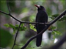 White-fronted Nunbird (Monasa morphoeus) by Ian