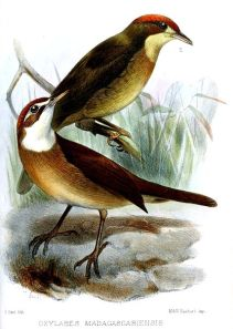 White-throated Oxylabes (Oxylabes madagascariensis) ©Drawing WikiC