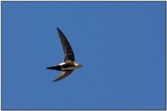 White-throated Swift by Dave's BirdingPix