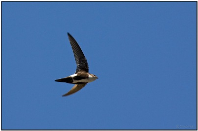 White-throated Swift by Dave's BirdingPix