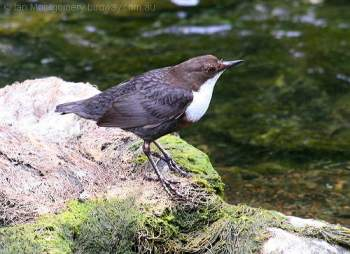 White-throated Dipper (Cinclus cinclus) by Ian