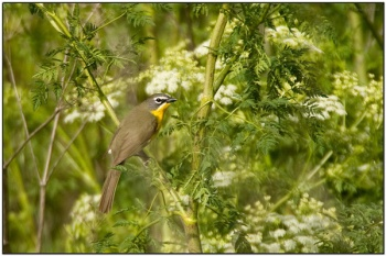 Yellow-breasted Chat (Icteria virens) by Daves BirdingPix