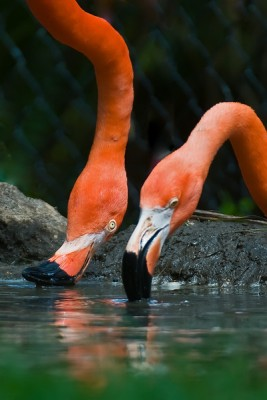 American Flamingo (Phoenicopterus ruber) by Africaddict