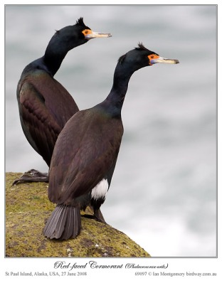 Red-faced Cormorant (Phalacrocorax urile) by Ian