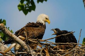 Bald Eagle (Haliaeetus leucocephalus)  by AestheticPhotos