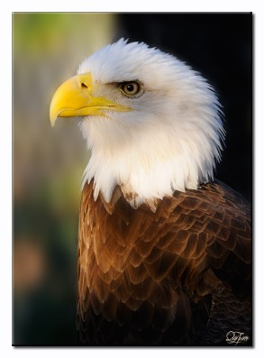 Bald Eagle (Haliaeetus leucocephalus)  by Quy Tran