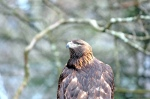 Golden Eagle (Aquila chrysaetos) - Grandfather Eagle by PastorBBC