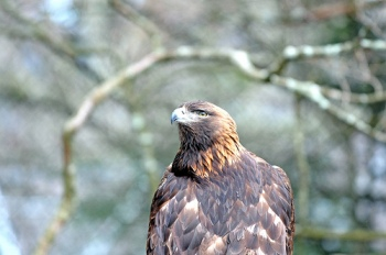 Golden Eagle (Aquila chrysaetos) - Grandfather Eagle by PastorBBC