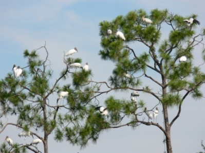 Wood Stork Tree