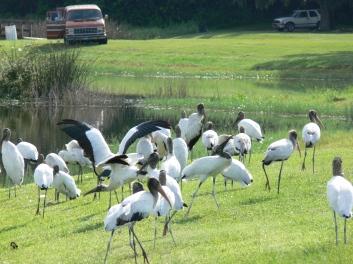 Wood Storks at entrance