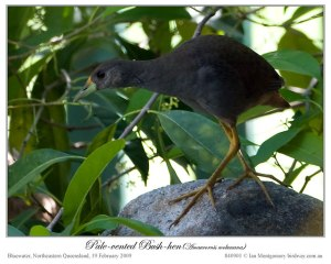 Pale-vented Bush-hen (Amaurornis moluccana) by Ian