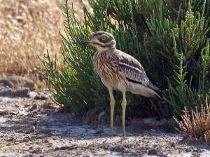 Eurasian Stone-curlew (Burhinus oedicnemus) by Ian at Birdway