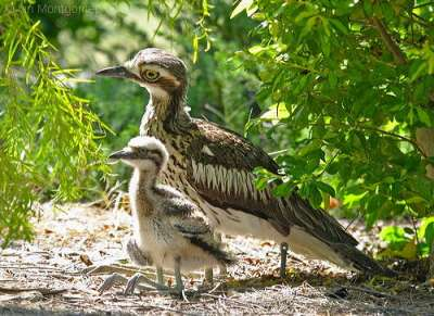 Bush Stone-curlew (Burhinus grallarius) with young by Ian