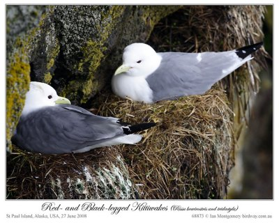 Red-legged and Black-legged Kittiwakes by Ian