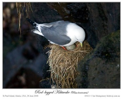 Red-legged Kittiwake (Rissa brevirostris) by Ian