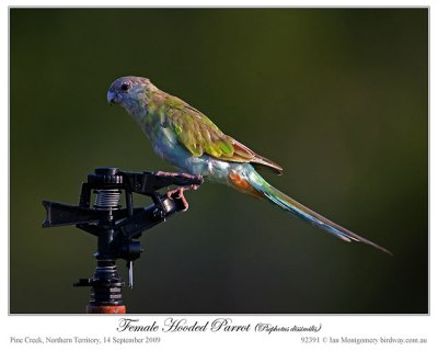 Hooded Parrot (Psephotus dissimilis) Female by Ian 3
