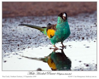 Hooded Parrot (Psephotus dissimilis) Male by Ian 1