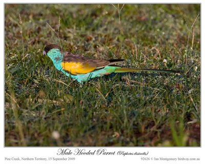 Hooded Parrot (Psephotus dissimilis) Male by Ian 2