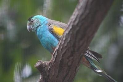 Golden-shouldered Parrot (Psephotus chrysopterygius) Wikipedia